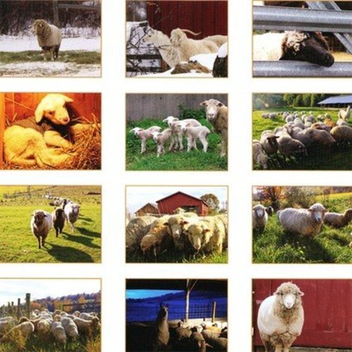 Foxfire at Springdelle Farm 2013 Sheep Calendar -  ()